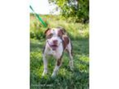 Adopt Danny Boy a American Pit Bull Terrier / Mixed dog in Lake Jackson