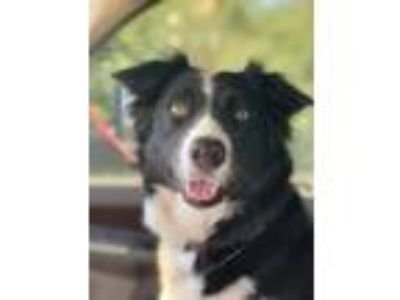 Adopt Molly a Black - with White Border Collie / Labrador Retriever / Mixed dog