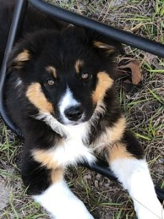 Puppy - For Sale Classifieds in Morriston, South Florida - Claz org