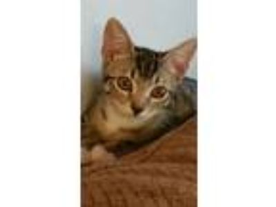 Adopt Dingy a Calico or Dilute Calico American Shorthair (medium coat) cat in