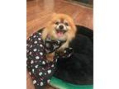 Adopt George a Red/Golden/Orange/Chestnut Pomeranian / Mixed dog in Studio City
