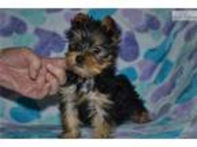 Yorkshire Terrier Registered Male Pup Joey