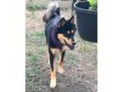Adopt Jasper & Amethyst a Black - with Tan, Yellow or Fawn Shiba Inu / Chow Chow