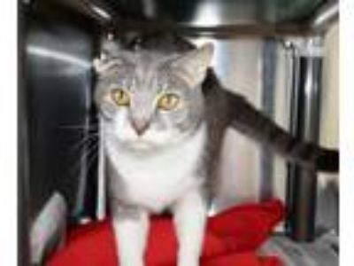 Adopt Muncher a Domestic Short Hair