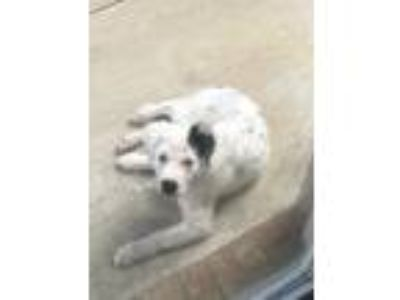 Adopt Bear a White - with Black Australian Shepherd dog in Mechanicsburg