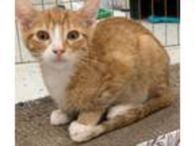 Adopt Toby -- 3.5 MONTHS a Domestic Short Hair, Tabby