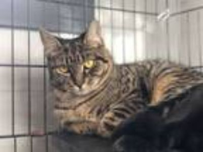 Adopt Maple a Domestic Short Hair