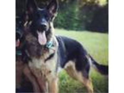 Adopt Maiya a Black - with Tan, Yellow or Fawn German Shepherd Dog dog in