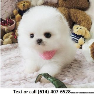 White Tcup Pomeranian Puppies