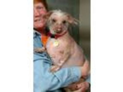 Adopt Loki a Chinese Crested / Dachshund / Mixed dog in Priest River