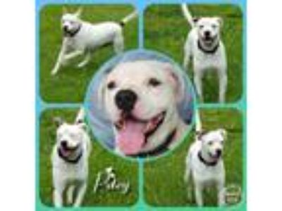Adopt Petey a Pit Bull Terrier, Mixed Breed