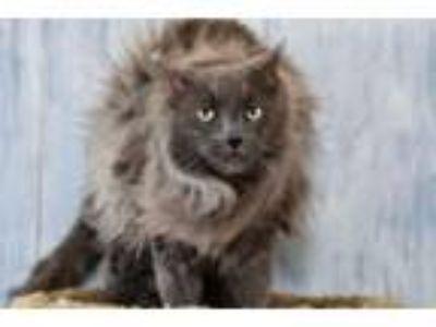 Adopt Mao a Domestic Long Hair