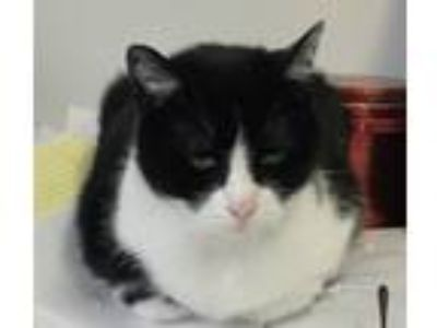 Adopt Peppermint Patty a Black & White or Tuxedo Domestic Shorthair / Mixed cat