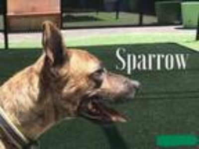 Adopt Sparrow a Brindle Catahoula Leopard Dog / Bull Terrier / Mixed dog in