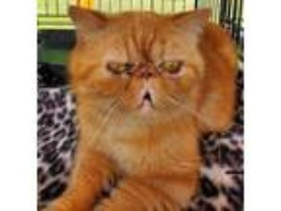 Adopt RUSKIN a Exotic Shorthair