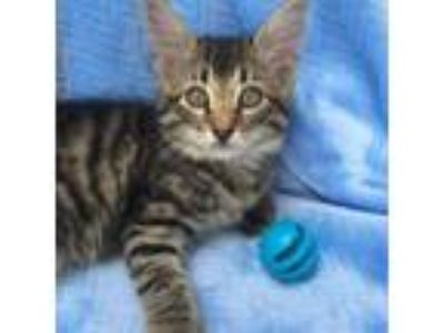 Adopt Wyndom a Domestic Medium Hair