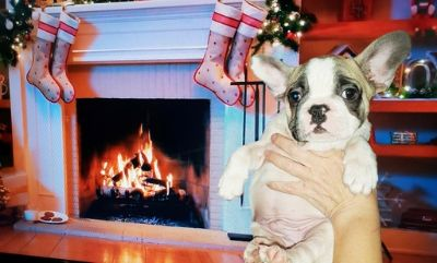 French Bulldog PUPPY FOR SALE ADN-105767 - FrenchieZ PuP