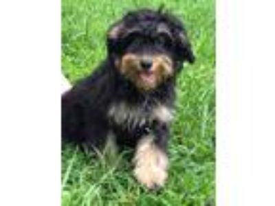 Adopt Pudding Pop a Black Australian Shepherd / Poodle (Standard) dog in