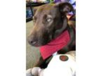 Adopt Holly a Labrador Retriever, German Shepherd Dog