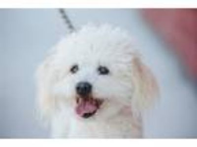 Adopt Tipsy a Bichon Frise / Poodle (Miniature) / Mixed dog in Monterey