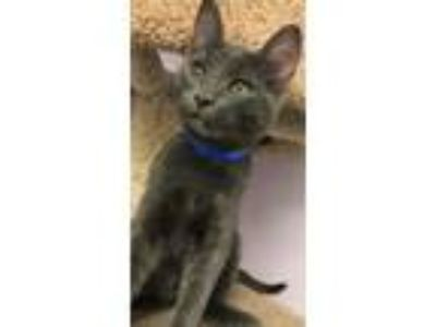 Adopt Scooby Do a Gray or Blue Russian Blue / Mixed (short coat) cat in Belton