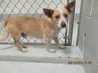 Adopt CHICO a Mixed Breed