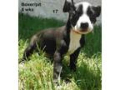 Adopt Altoona a Boxer, Pit Bull Terrier