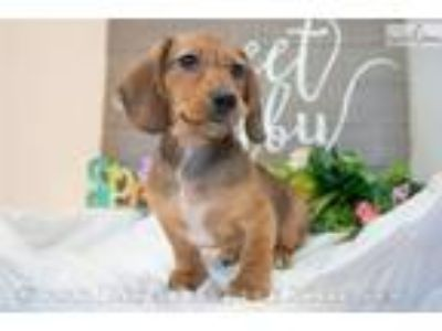 Milo - Red male WIREHAIR All of our puppies come