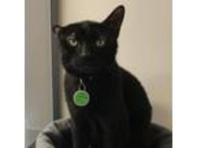 Adopt Chocolate Chip a All Black Domestic Shorthair cat in New York City