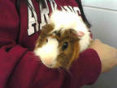Adopt GUCCI a Black Guinea Pig / Mixed small animal in Dallas, TX (25170980)