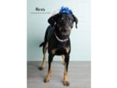 Adopt Alexis fka Lexie a Black - with Tan, Yellow or Fawn German Shepherd Dog