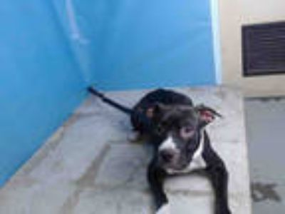 Adopt IZZY a Black - with White American Pit Bull Terrier / Mixed dog in