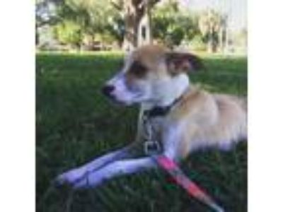Adopt Shimmer a Tan/Yellow/Fawn Terrier (Unknown Type, Small) / Mixed dog in