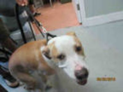 Adopt DANTE a Brown/Chocolate - with White Labrador Retriever / Mixed dog in