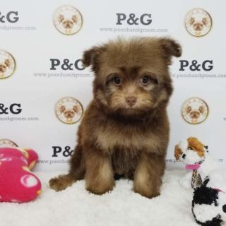 Pomeranian-Poodle (Toy) Mix PUPPY FOR SALE ADN-95726 - POMAPOO MARK MALE