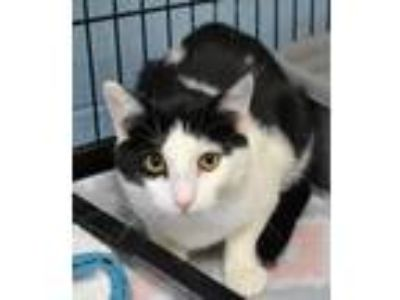 Adopt Piper a White Domestic Shorthair / Mixed cat in Rockwall, TX (25559308)