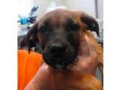 Adopt Tovah a Red/Golden/Orange/Chestnut Hound (Unknown Type) / Terrier (Unknown