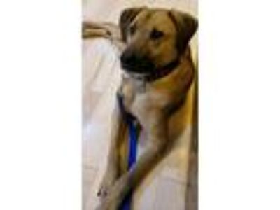 Adopt Mason a Tan/Yellow/Fawn - with Black Labrador Retriever / Rhodesian