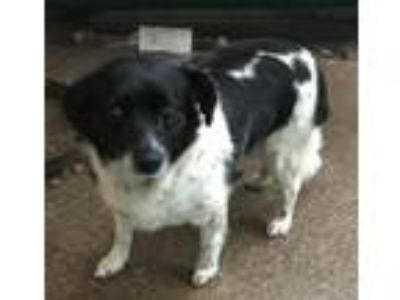 Adopt Siggy Foster Needed 6/22 a Spaniel