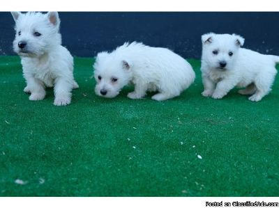 Protective West Highland Terrier Puppies available