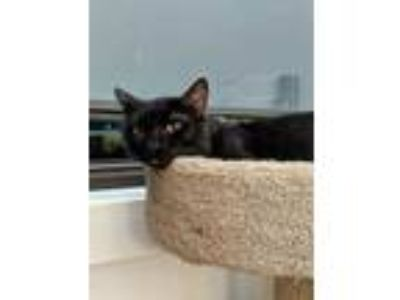Adopt Elvis a All Black Domestic Shorthair / Domestic Shorthair / Mixed cat in