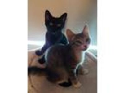 Adopt Blackbird and Mouse a American Shorthair / Mixed (short coat) cat in