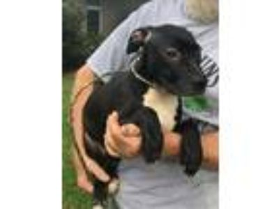 Adopt Oreo a Black - with White Labrador Retriever / Mixed dog in Slidell