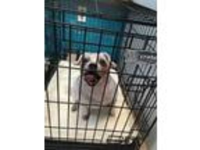 Adopt Scrappy a White Terrier (Unknown Type, Small) / Mixed dog in Anderson