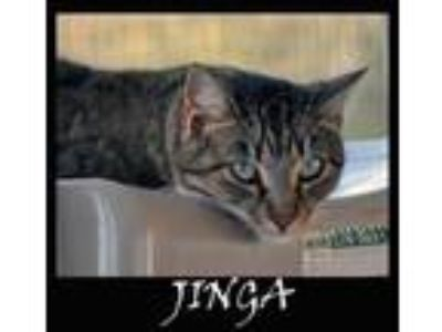 Adopt JINGA a Gray or Blue (Mostly) Domestic Shorthair / Mixed (short coat) cat