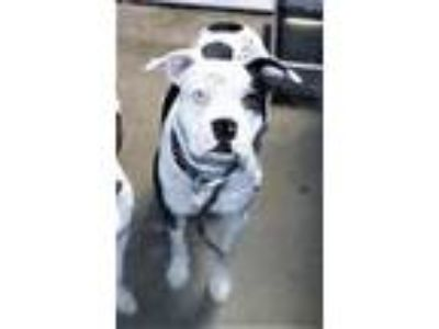 Adopt R230680 / Hamish a Pit Bull Terrier