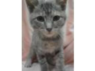 Adopt Benbrook~ Teriyaki a Domestic Short Hair