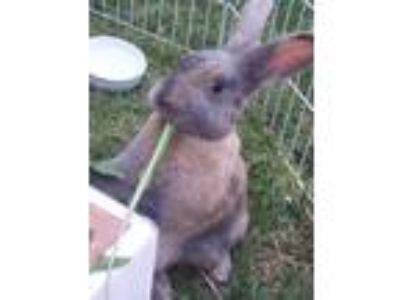 Adopt Jester a Tri-color Harlequin / Mixed (short coat) rabbit in Los Angeles