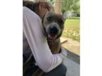 Adopt MISSY BONES a Pit Bull Terrier, Mixed Breed