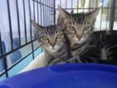 Adopt Michael and Millie a Tabby
